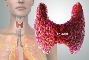 Thyroid gland close up and in situ